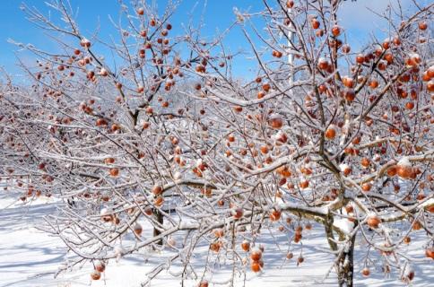 pomme pour les cidres de glace