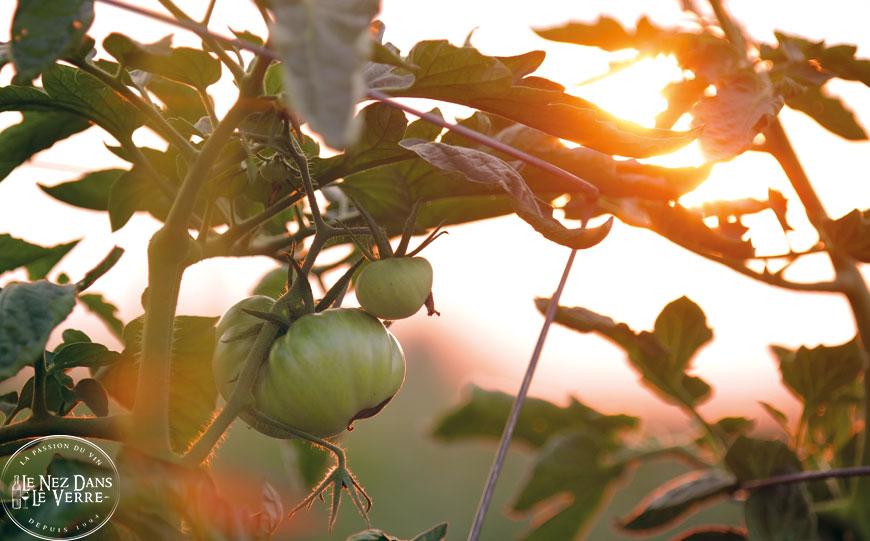 tomates du jardins le nez dans le verre parfait pour les tomates farcies